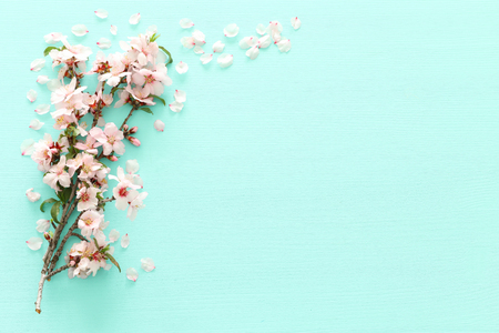 photo of spring white cherry blossom tree on pastel mint wooden background. View from above, flat lay Stock Photo