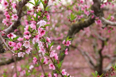 Background of spring blossom tree with pink beautiful flowers. Selective focus Stockfoto