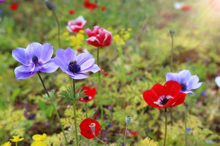 Foto van kleurrijke klaprozen in het groene veld