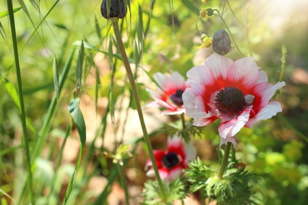 Photo of colorful poppies in the green field.