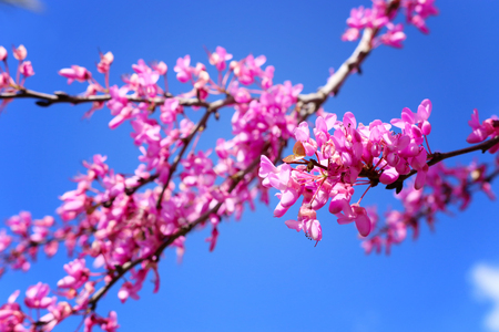 Image of Spring pink blossoms tree. Selective focus photo.
