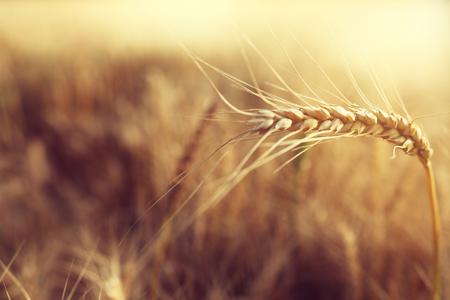 Oreilles de blé d'or dans le domaine à la lumière du coucher du soleil