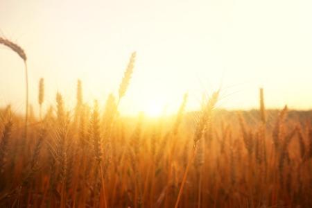 Oren van gouden tarwe in het veld bij zonsonderganglicht Stockfoto