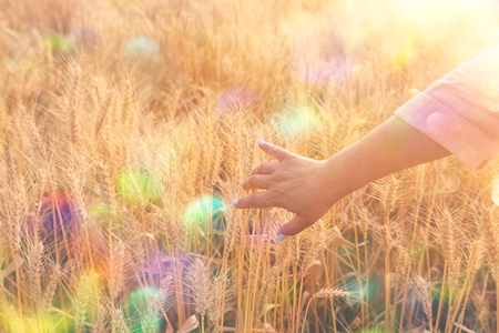 Woman's hand touching wheat in the field at sunset light