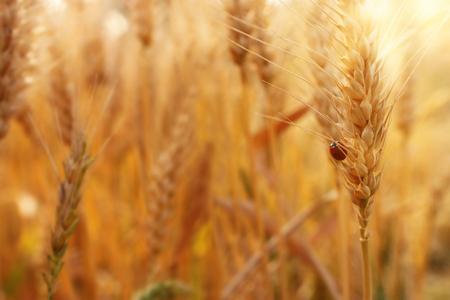 Kłosy złotej pszenicy na polu o zachodzie słońca