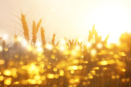 Ears of golden wheat in the field at sunset light. Glitter overlay