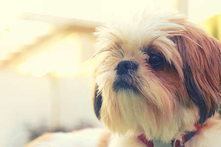 Close up of adorable shi tzu dog's face