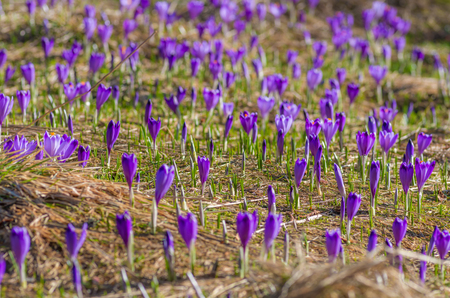 Blooming crocuses in spring, Chocholowska valley, Tatra mountains, Poland Stock Photo