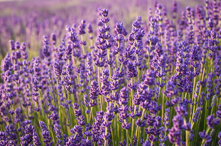 Lavender flowers, blooming meadow Stock Photo