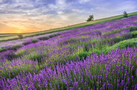 Blooming lavender fields in Poland, beautfiul sunrise
