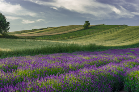Blooming lavender and crop fields in Little Poland, under blue cloudy sky