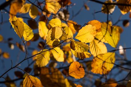 Alder leaves background, colorful autumn