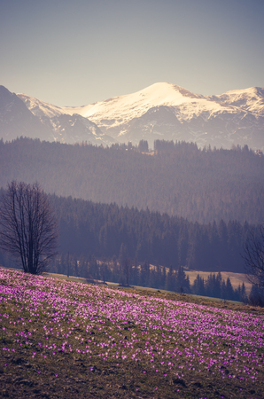 Tatra mountains, Poland, crocuses in Podhale region, spring, Stock Photo