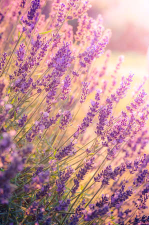Lavender flowers, blooming in sunlight 스톡 콘텐츠
