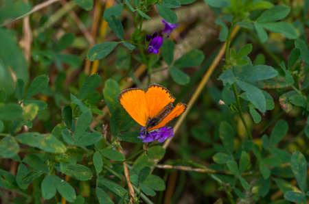 Scarce copper male butterfly