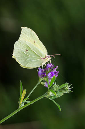 Common brimstone male butterfly on the flower