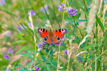 peacock butterfly, summer meadow 스톡 콘텐츠