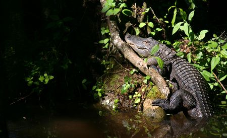 American alligator sunning on a log. Gator is in right frame, left frame contains plenty of open space for textad copy photo
