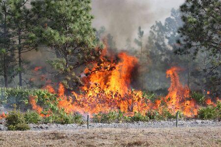 Gesteuert, Forsten Sie Feuer in Zentralflorida, 8 Januar 2010. Flammen sind gut entwickelt in diesem Bild, mit Pinsel voll engagiert und Kiefer Bäume in verschiedenen Stadien der brennen. Schwarze Rauch wabert aus den Flammen. Standard-Bild - 6269369
