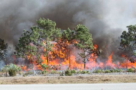 environmentalism: Controlled forest fire in Central Florida, 8 January 2010. Flames are well developed in this image, with brush fully engaged and pine trees in various stages of burning. Black smoke billows from the flames.