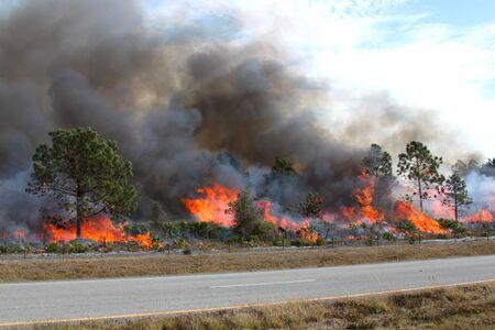 developed: Controlado incendio forestal en la Florida Central, 8 de enero de 2010. Las llamas est�n bien desarrolladas en esta imagen, con pincel plenamente comprometido y en diversas etapas de la quema de �rboles de pino. Humo negro ondea de las llamas.