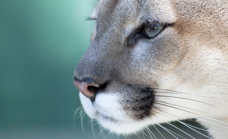 mottled: Close up view of the face of a Florida Panther staring into the distance. Shot against a slightly mottled green background. Stock Photo
