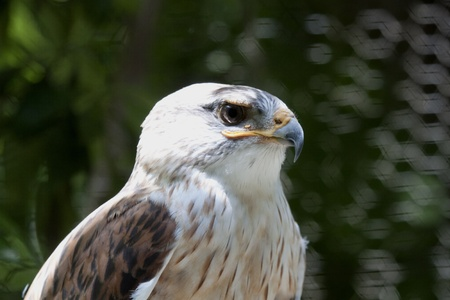 A disabled hawk watches the world from a perch in a bird of prey rescue center. photo