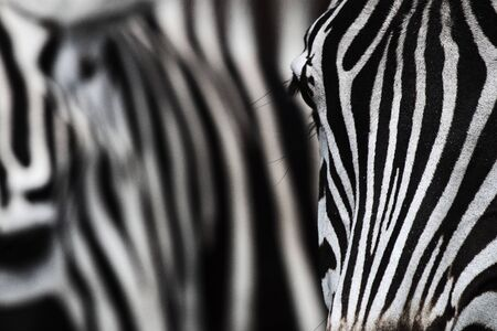 Close up shot of a zebra s face, with a herd-mate carrying the striped theme into the background  Stock Photo