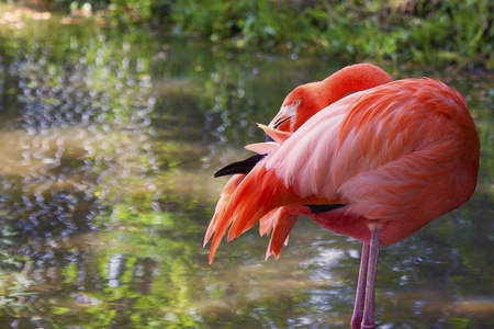 subtropics: Image of a flamingo preening his feathers  The bird is standing on two legs with its beak prominently visible