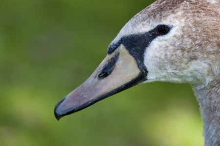 mute swan: Juvenile mute swan in profile. The image is a close-up shot that shows the face, beak and part of the neck of the bird. Image is shot against a mottled green background.