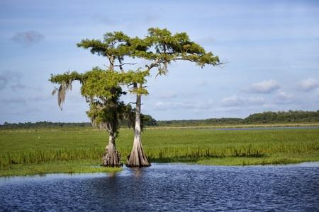 Deux cyprès qui poussent sur les rives de la rivière Saint Johns en Floride centrale. Les arbres se détachent sur un ciel bleu légèrement nuageux.