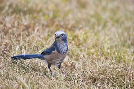 scrub grass: Florida scrub jay forages for food in the rapidly disappearing scrub environment of Central Florida.