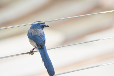 blue jay bird: Florida scrub jay forages for food in the rapidly disappearing scrub environment of Central Florida. Stock Photo