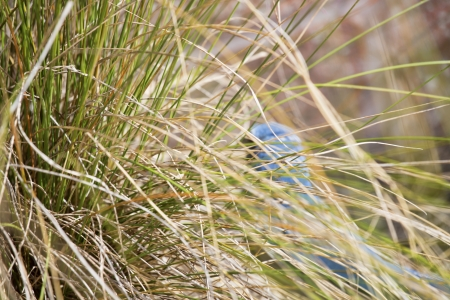scrub grass: Florida scrub jay forages for food in the rapidly disappearing scrub environment of Central Florida. Stock Photo