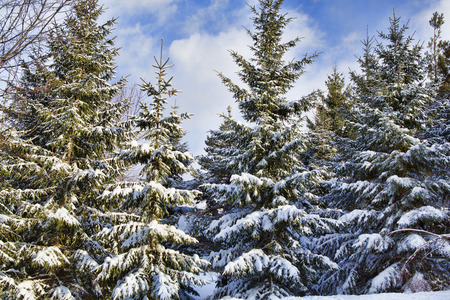 frigid: Snow covered evergreen trees the morning after a light snowstorm in Western New York