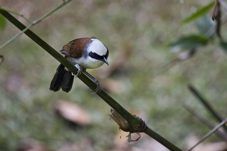 bukit: These noisy brown, white and gray birds were congregated in one area of the Bukit Batok Nature Preserve in Singapore. The White-Crested Laughing Thrush. Stock Photo