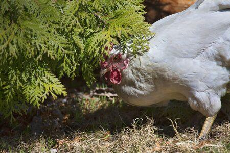 foraging: Chicken hen (female chicken) foraging for food under a bush. Stock Photo
