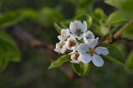 limbs: Newly opened pear blossoms greet the evening sun on the limbs of a centuryold fruit tree. Stock Photo