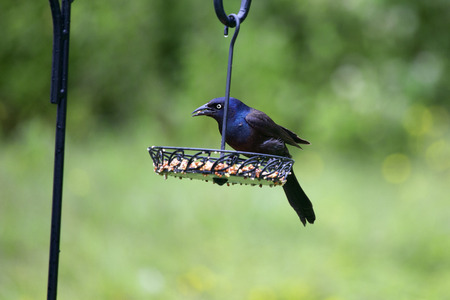 differs: A male common grackle on a feedeer in our backyear. This bird differs from the boat tailed grackle that is common in Central Florida primarily in that the tail feathers on the male common grackle are much shorter than those on the boat tailed grackle.