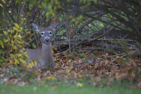 undergrowth: White tailed deer hiding in the bushes of a suburban neighborhood in mid-Autumn.