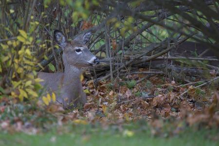 suburban neighborhood: White tailed deer hiding in the bushes of a suburban neighborhood in mid-Autumn.