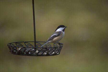 plummage: A black capped chickadee foraging on a backyard feeder.