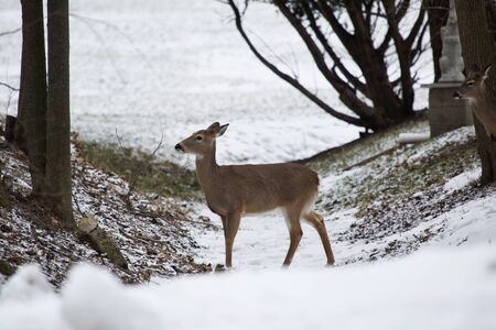 white tail deer: White tailed deer foraging in a snowy Western New York neighborhood. Stock Photo