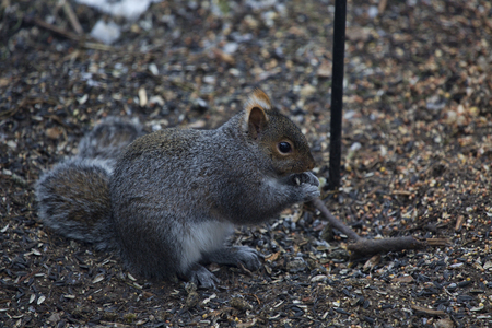 botar basura: ardilla gris que come semillas que cubr�an el suelo debajo de un alimentador de aves patio trasero.