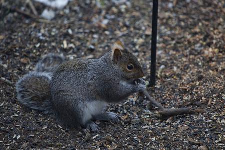 littering: Grey squirrel eating seeds littering the ground beneath a backyard bird feeder. Stock Photo