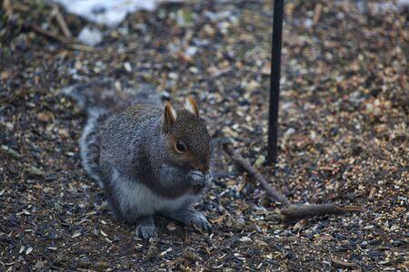 botar basura: ardilla gris que come semillas que cubrían el suelo debajo de un alimentador de aves patio trasero.