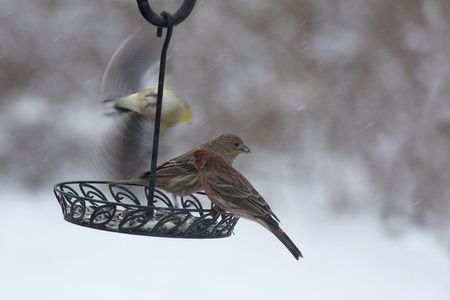 blustery: A male goldfinch in Winter garb departs a backyard feeder after sharing a snowy Winter morning breakfast with a pair (male and female) of house finches. Stock Photo
