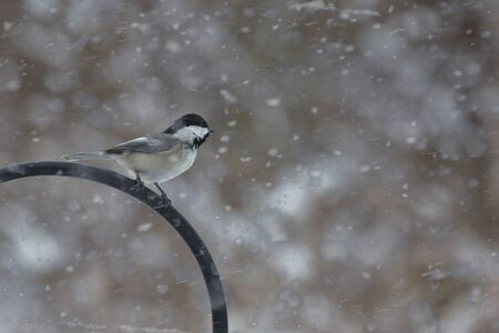 blustery: A black capped chickadee sits atop a feeder, bravely facing into the wind on a snowy, blustery Winter morning. Stock Photo