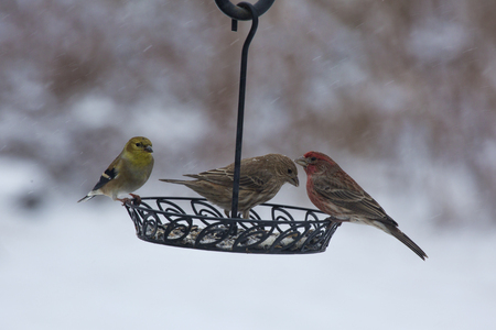 blustery: House finches (female and male) and gold finches (male in winter garb) sharing breakfast from a backyard bird feeder on a cold, snowy Winter morning. Stock Photo