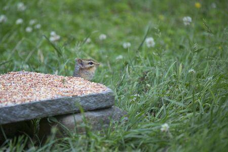 ardilla: Chipmunk collecting seeds from a backyard feeder.